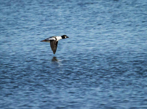Photograph - Drake Goldeneye In Flight 2013-1 by Thomas Young
