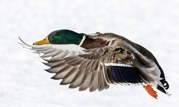 Photograph - Drake Mallard 2019-6 by Thomas Young