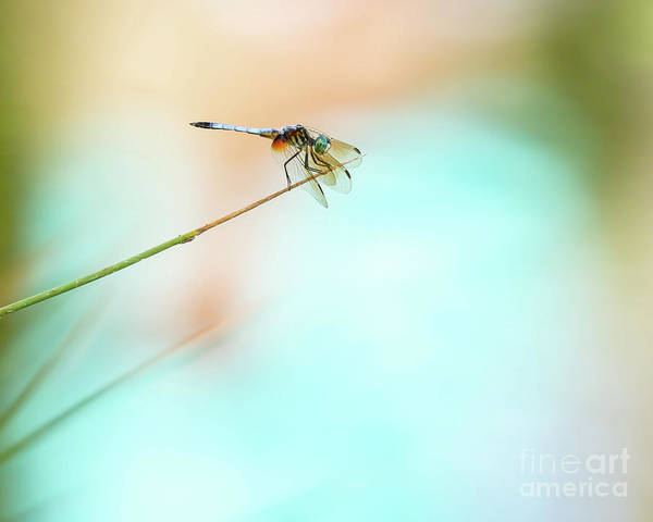 Photograph - Dramatic Blue Dragonfly by Sabrina L Ryan