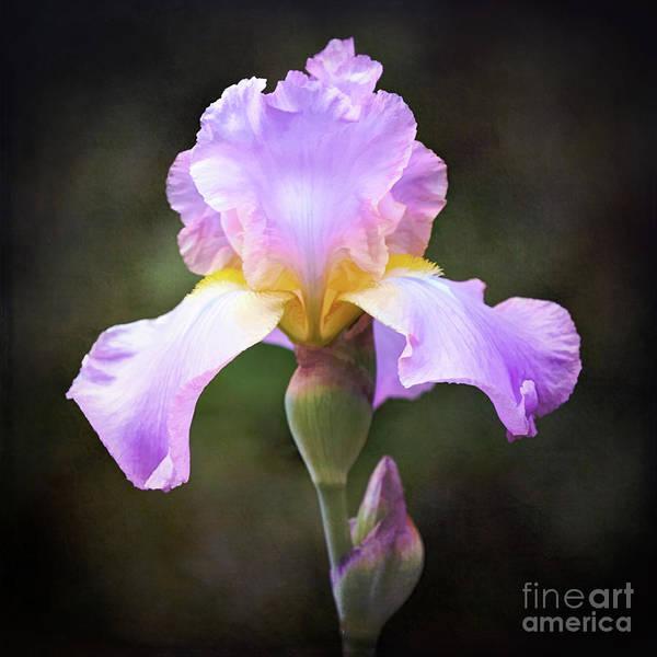 Wall Art - Photograph - Dramatic Purple Iris by Anita Pollak