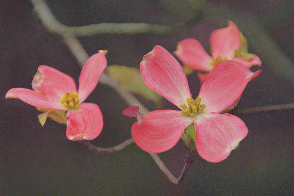 Photograph - Dreaming Of Dogwoods by Leda Robertson