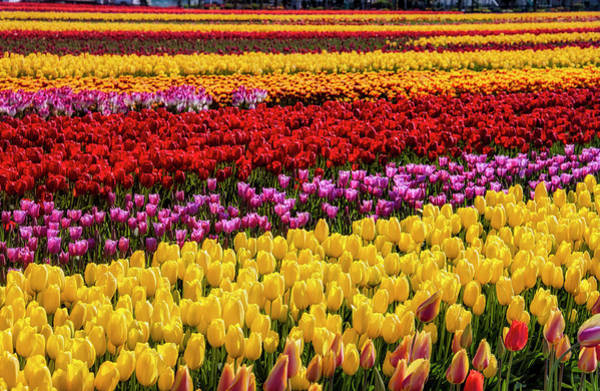 Wall Art - Photograph - Dreaming Of Endless Tulips by Garry Gay