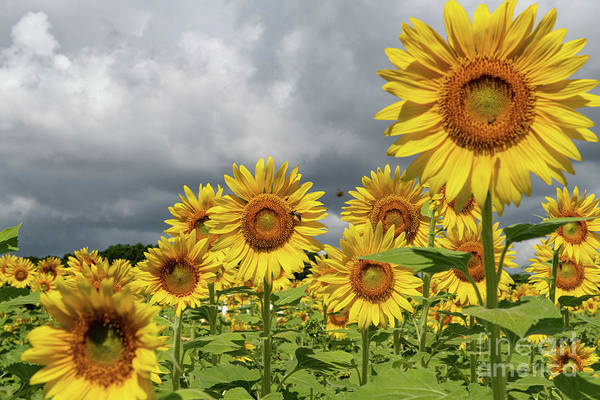 Photograph - Dreaming Of Yellow Sunshine by Dale Powell