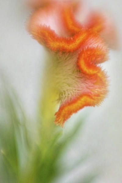 Wall Art - Photograph - Dreamy Curls Of The Celosia by David and Carol Kelly