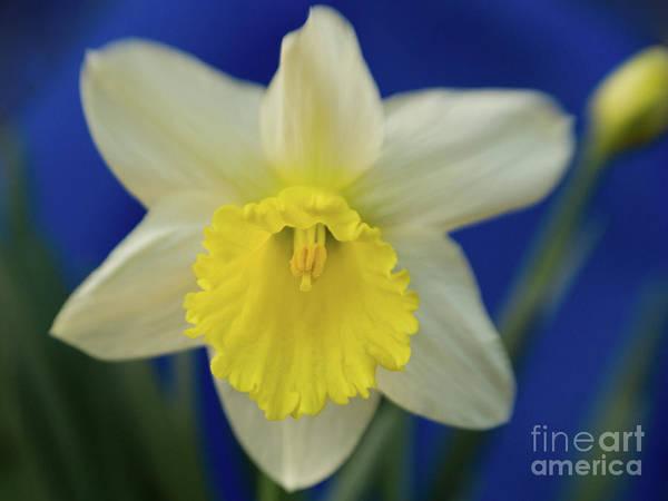 Dafodil Photograph - Dreamy Daffodil by Dorothy Lee