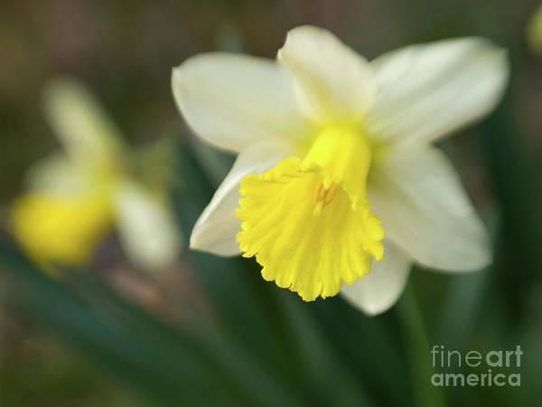 Dafodil Photograph - Dreamy Daffodils by Dorothy Lee