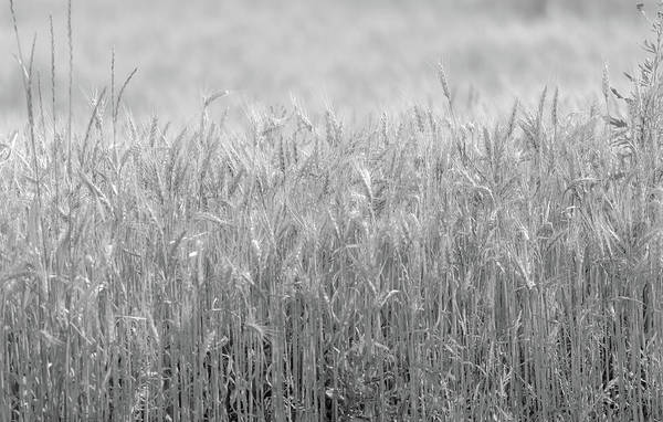 Photograph - Dreamy Farm Field Black And White by Dan Sproul
