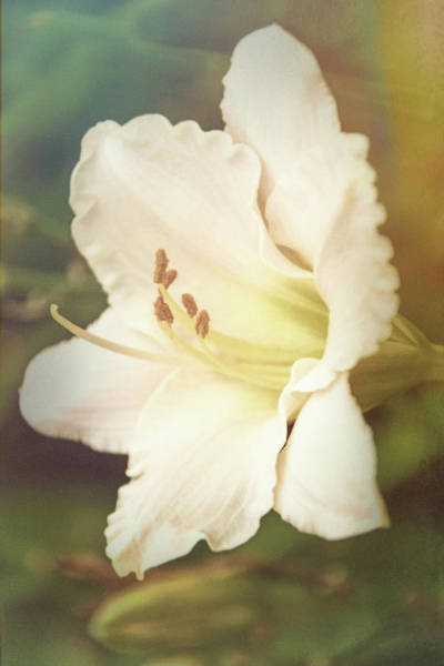Photograph - Dreamy Lily by Leda Robertson
