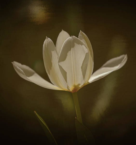 Photograph - Dreamy Tulip #i7 by Leif Sohlman