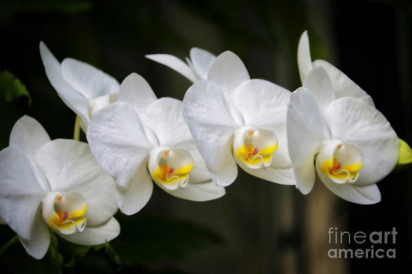 Photograph - Dreamy White Orchids by Carol Groenen