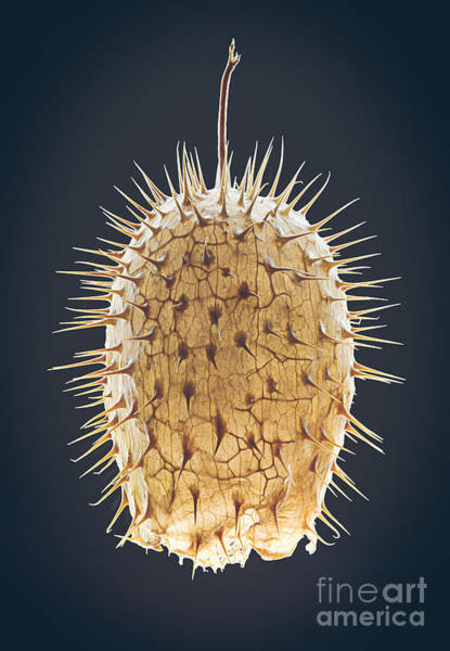 Wall Art - Photograph - Dried Fruit Of Echinocystis Lobata by Mike Laptev