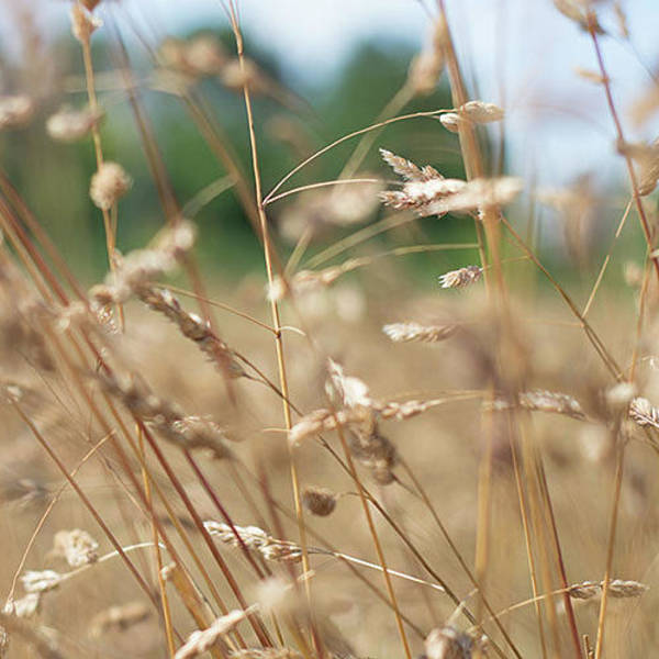 Photograph - Dried Grass Out Of Focus by Scott Lyons
