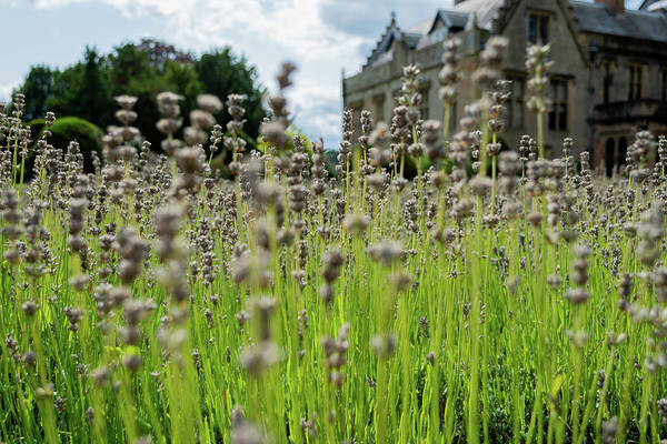 Photograph - Dried Lavendar At Newstead Abbey by Scott Lyons