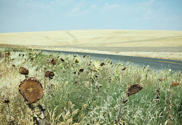 Sunflower Seeds Photograph - Dried Sunflowers On The Roadside,in A by Mint Images - Paul Edmondson