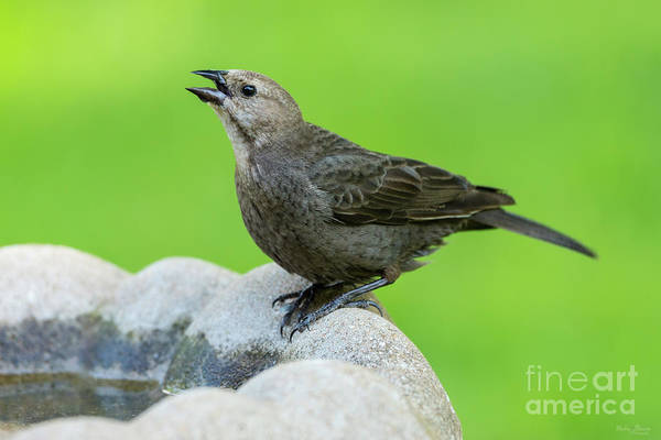Brown-headed Cowbird Photograph - Drink It Up Female Cowbird by Jennifer White
