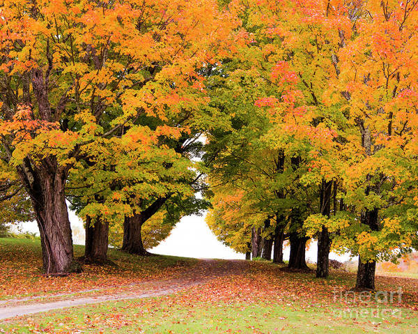 Photograph - Driveway Lined With Maples by Alana Ranney