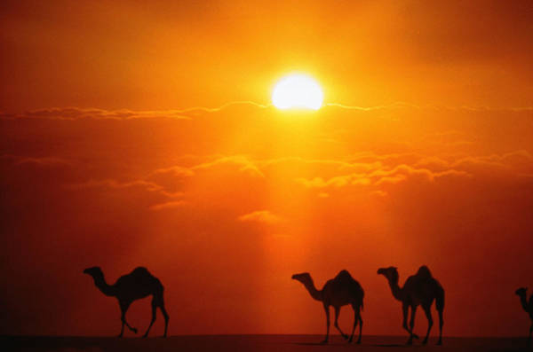 Dromedary Wall Art - Photograph - Dromedaries by John Foxx