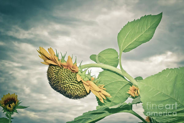 Wall Art - Photograph - Drooping Sunflower by Colleen Kammerer