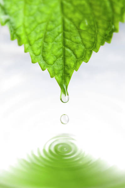 Leaf Photograph - Drop by Ugurhan