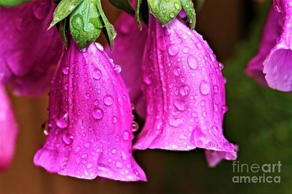 Photograph - Drops On Foxglove by Patti Whitten