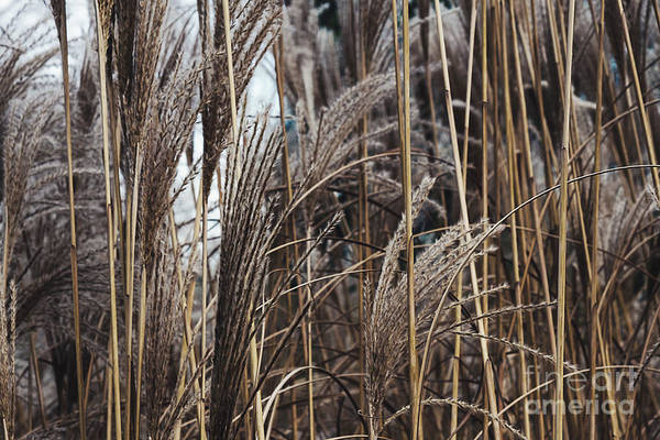 Photograph -  Dry Reed In The Twilight by Marina Usmanskaya