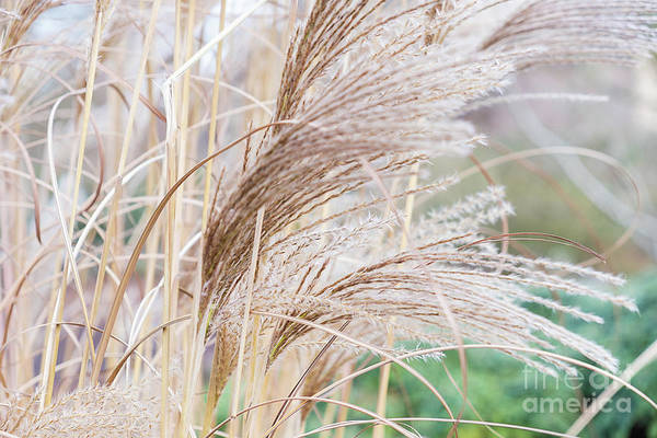 Photograph -  Dry Reed Natural Pattern by Marina Usmanskaya