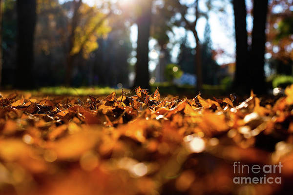 Photograph - Dry Tree Leaves On In Soil, Old, Autumn Concept And Warmth. by Joaquin Corbalan