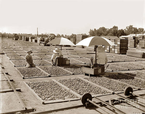 Photograph - Drying Figs Circa 1910 by California Views Archives Mr Pat Hathaway Archives