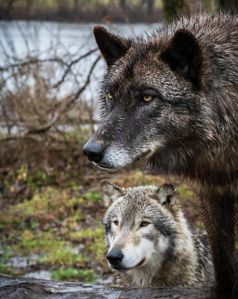 Photograph - Dual Wolves by Laura Hedien