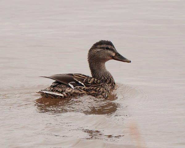 Photograph - Duck 5466 by John Moyer