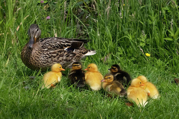 Photograph - Duck And Cute Little Ducklings by Mariella Wassing