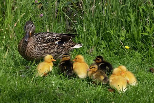 Duck And Cute Little Ducklings Art Print