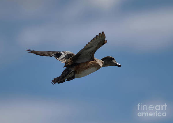 Photograph - Duck Blue Sky by Robert WK Clark