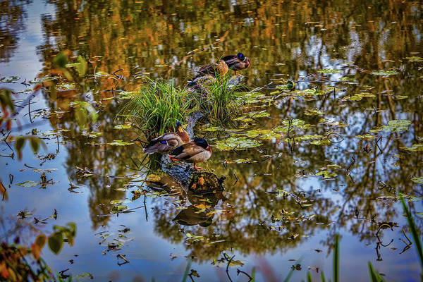 Photograph - Duck Dreams #i0 by Leif Sohlman