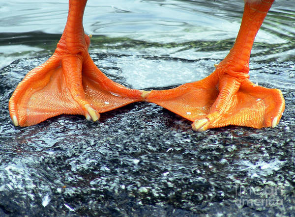 Wall Art - Photograph - Duck Feet by Robin Keefe
