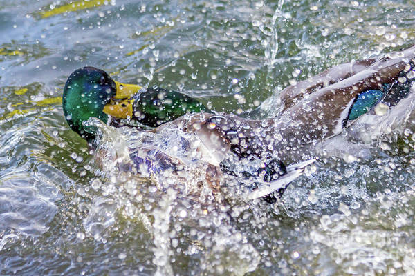 Photograph - Duck Fight by Kate Brown