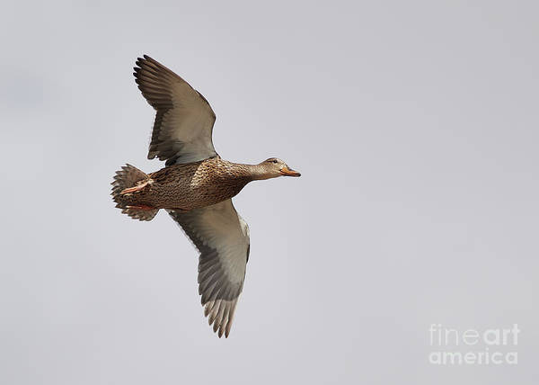 Photograph - Duck In-flight by Robert WK Clark