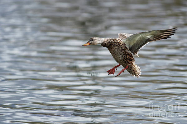 Photograph - Duck Inflight by Robert WK Clark