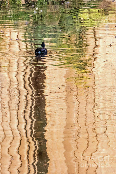 Photograph - Duck On Reflections by Kate Brown