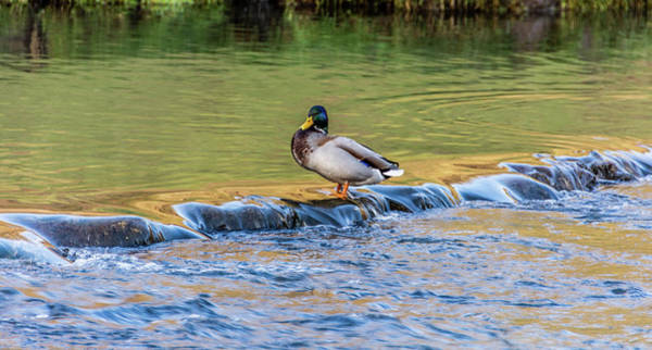 Photograph - Duck On The Edge by Scott Lyons