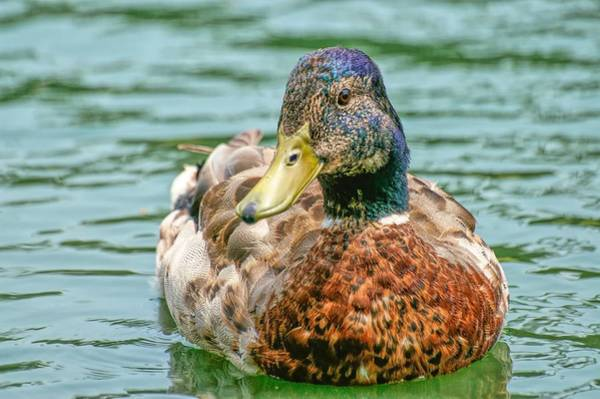 Photograph - Duck Swimming In Lake by Don Northup