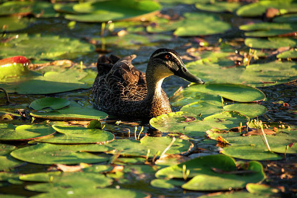 Photograph - Duck Swimming On The Pond. by Rob D Imagery