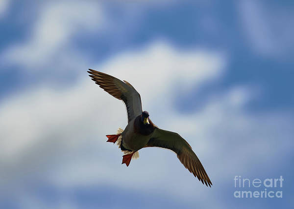 Photograph - Duck Swooping by Robert WK Clark