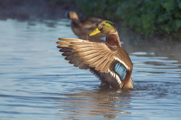 Photograph - Duck Wing Flap 3134-120318-1cr by Tam Ryan