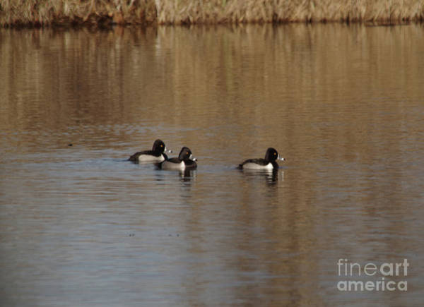 Wall Art - Photograph - Duckies In A Pond by Jeff Swan