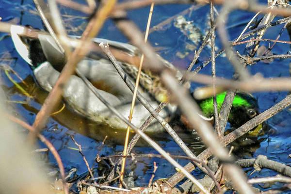 Photograph - Ducking by Christina Maiorano