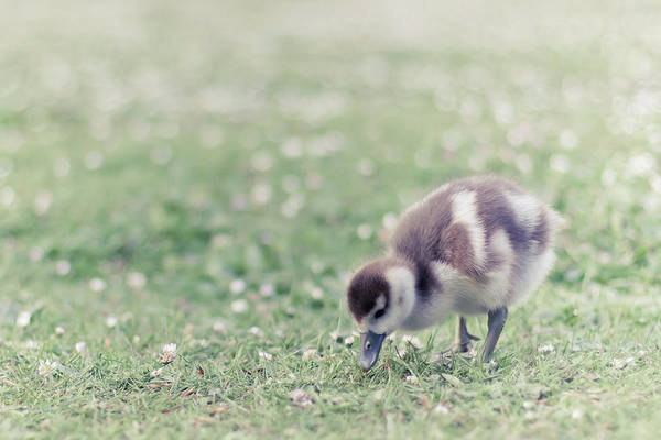 Duckling Photograph - Duckling In Grass Field by Cindy Prins