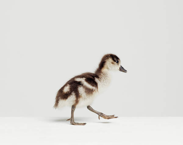 Duckling Photograph - Duckling Walking In Studio, Side View by Roger Wright