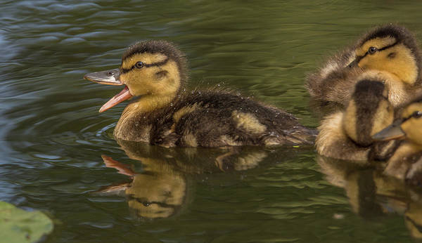Wall Art - Photograph - Duckling With Something To Say by Marv Vandehey