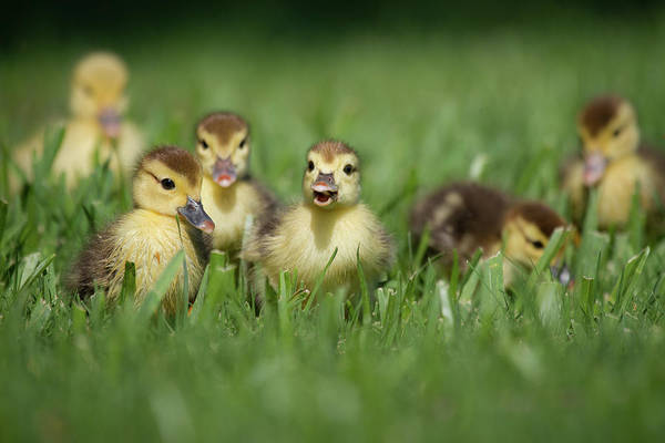 Birds Of Texas Photograph - Ducklings On Grass by Gary Seloff